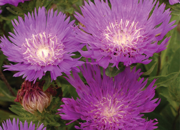Stokesia 'Honeysong Purple'