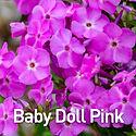 Phlox Baby Doll Pink - Dwarf Phlox.jpeg