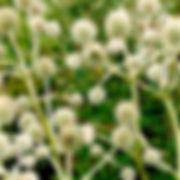 Eryngium yuccifolium - Rattlesnake Master.