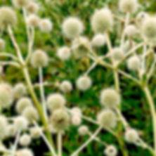Eryngium yuccifolium - Rattlesnake Master