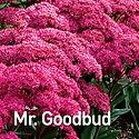 Sedum Mr. Goodbud - Stonecrop.jpeg