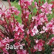 Gaura Siskyou Pink - Beeblossom
