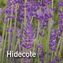 English Lavender Hidecote