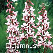 Dictamnus a. Purpureus - Gas Plant