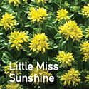Sedum Little Miss Sunshine - Stonecrop