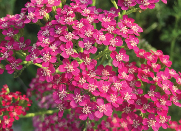Achillea m. 'Saucy Seduction'