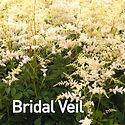 Astilbe Bridal Veil.jpeg