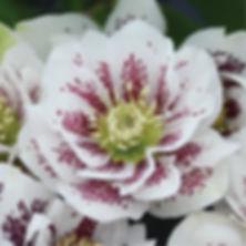 Helleborus Confetti Cake - Lenten Rose.j