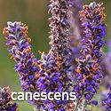 Amorpha canescens - Leadplant.jpeg