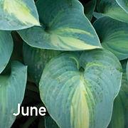 Hosta June
