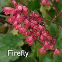 Heuchera Firefly - Coral Bells
