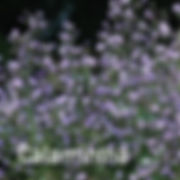 Calamintha Marvelette Blue