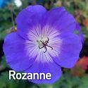 Geranium Rozanne - Cranesbill.jpeg