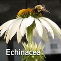 Echinacea p. White Swan - Coneflower.jpe