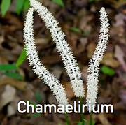 Chamaelirium luteum - Fairy Wand.