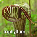 Arisaema triphyllum - Jack-in-the-Pulpit