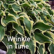 Hosta Wrinkle in Time