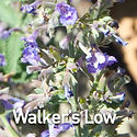 Nepeta f. Walker's Low - Catmint.jpeg