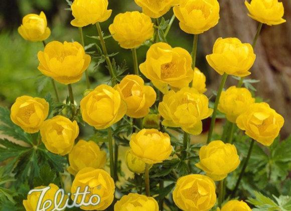 Trollius 'Lemon Queen'