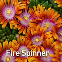 Delosperma Fire Spinner - Ice Plant.jpeg