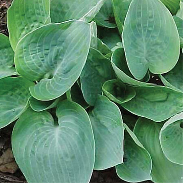Hosta Dorset Blue.jpg