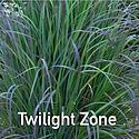 Schizachyrium Twilight Zone - Little Blu