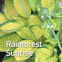Hosta Rainforest Sunrise.jpeg