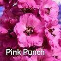 Delphinium Pink Punch - Candle Larkspur.