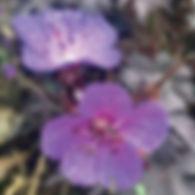 Geranium p. Dark Reiter - Cranesbill.jpg