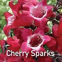 Penstemon Cherry Sparks - Beardtongue