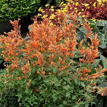 Agastache Kudos Mandarin - Hummingbird M