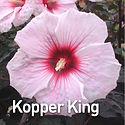 Hibiscus m. Kopper King.jpeg