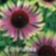 Echinacea Green Twister - Coneflower