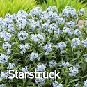 Amsonia Starstruck - Blue Star.jpeg
