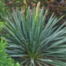 Yucca f. Excalibur - Adam's Needle.jpg