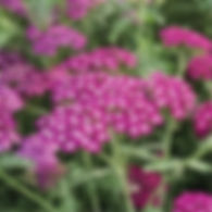 Achillea New Vintage Violet - Yarrow.jpg