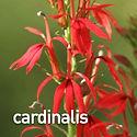 Lobelia cardinalis - Cardinal Flower.jpe