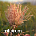 Geum triflorum - Prairie Smoke.jpeg