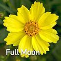 Coreopsis Big Bang Full Moon - Tickseed.