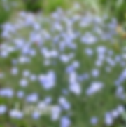 Linum Sapphire - Flax.