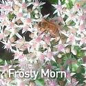 Sedum Frosty Morn - Stonecrop.jpeg