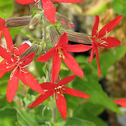 Silene regia - Royal Catchfly.