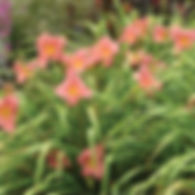 Hemerocallis Rosy Returns - Daylily.jpg