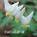 Dicentra cucullaria - Dutchman's Breeches.