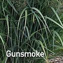 Panicum v. Gunsmoke - Panic Grass.jpeg