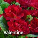 Primula Belarina Valentine - Primrose.jp