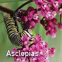 Asclepias incarnata Cinderella - Swamp Milkweed