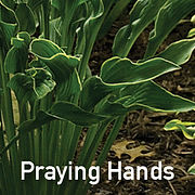Hosta Praying Hands