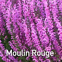 Salvia Moulin Rouge.jpeg
