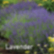 English Lavender Hidecote